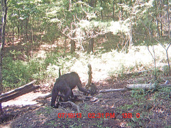 Unidentified animal seen on trail cam