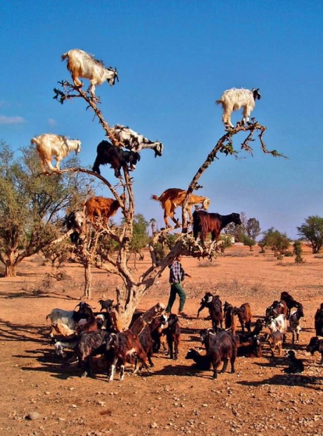 Обнаружены «антигравитационные» козы