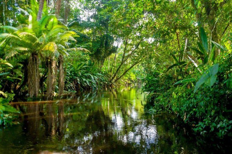Дерево-людоед бразильских джунглей