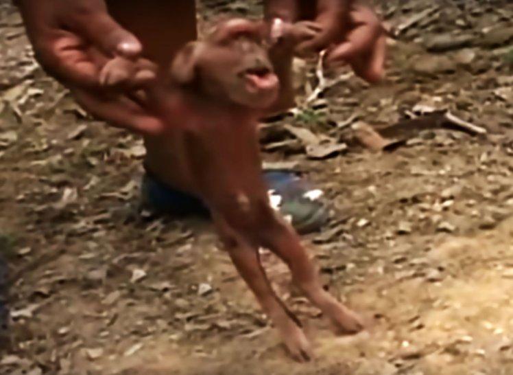 На Кубе родился поросенок, похожий на обезьяну