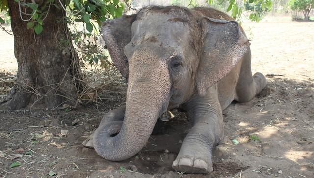 Слон убил своего хозяина и попытался спрятать его тело