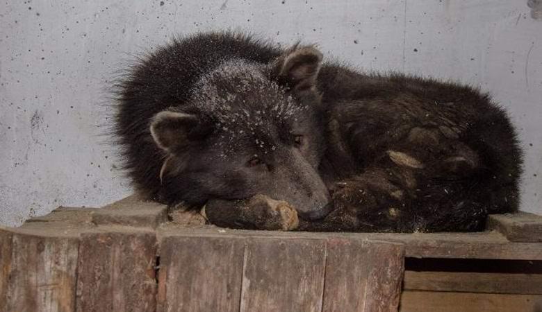 Челябинский гибрид медведя и собаки удивил ученых