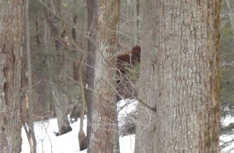 Американец заснял бигфута в зимнем лесу