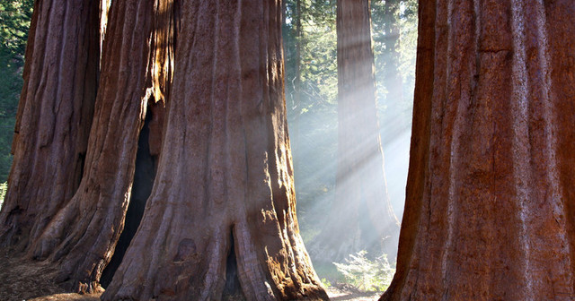 дерево, секвойя