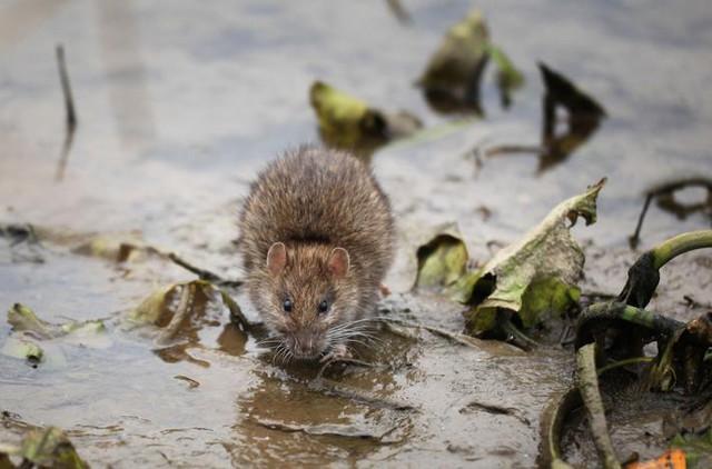 Полчища крыс атаковали Париж