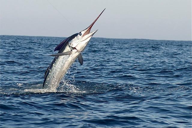 «Живые торпеды» или как невероятные меч-рыбы атакуют корабли и даже подводные лодки
