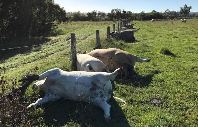6 коров австралийского фермера погибли разом при загадочных обстоятельствах