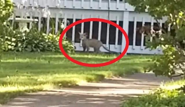 Загадочное животное запечатлели на видео в Миннесоте