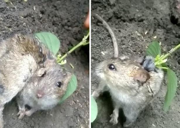 Из тела живой крысы пророс соевый куст