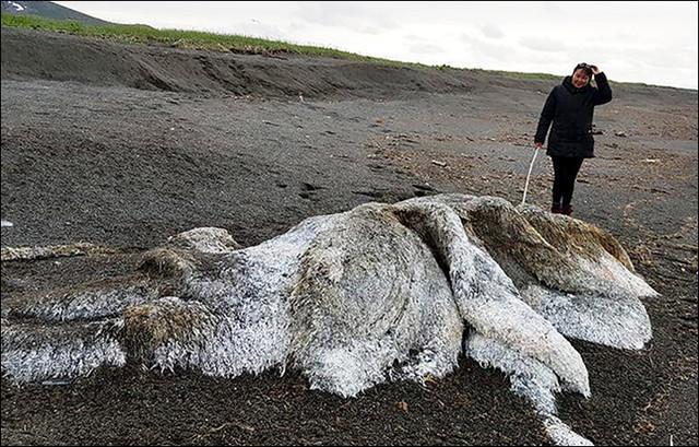 На берег Камчатки выбросило «волосатые» останки неопознаного крупного животного
