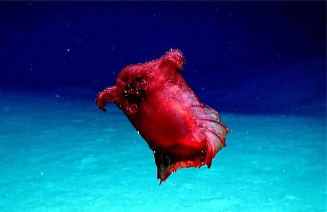 В водах Антарктики впервые засняли странного красного моллюска