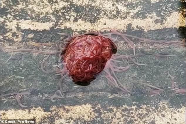 В сточной канаве засняли жуткий клубок червей