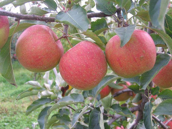 Загадочная болезнь RAD убивает американские яблони, словно чума. Когда она поразит весь мир?