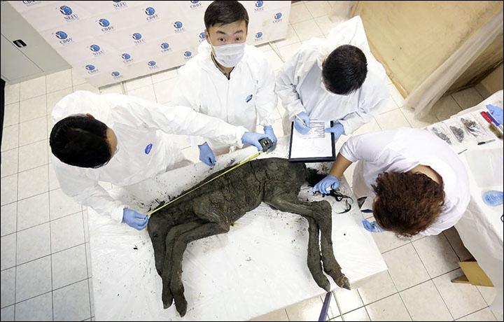 Ученые из России и Кореи могут клонировать жеребенка, погибшего 42 тысячи лет назад
