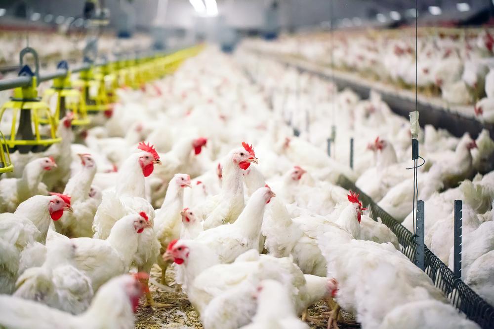 В Индии проверяют данные о возможной вспышке птичьего гриппа