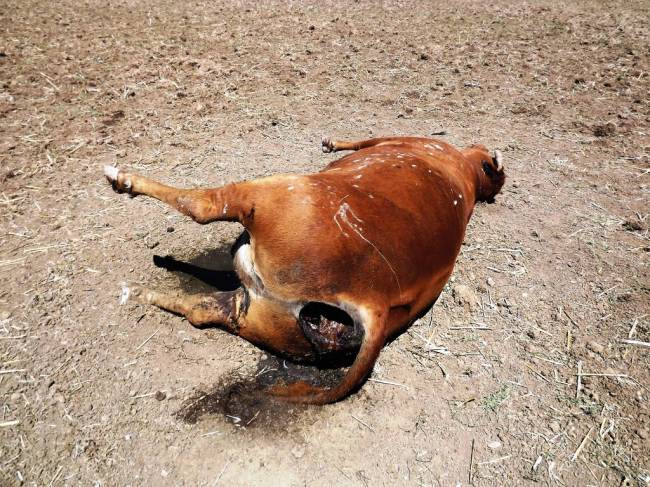 10.08.11 Мертвая корова со следами увечий была обнаружена фермером утром 7